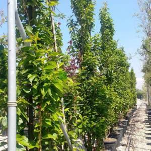 Sütun formlu japon süs kirazı - Prunus serrulata amanogawa (ROSACEAE)