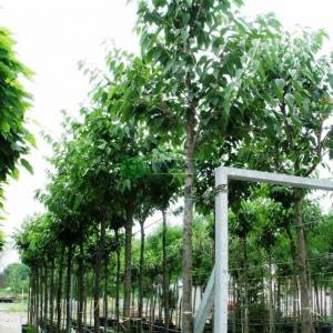 Beyaz çiçekli süs kirazı,tatlı kiraz - Prunus avium plena (ROSACEAE)