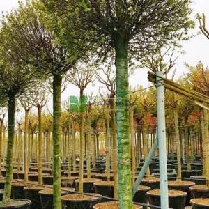 Top süs kirazı, Top süs vişnesi, Moğol kirazı - Prunus x eminens umbraculifera (P. fruticosa globosa) (ROSACEAE)