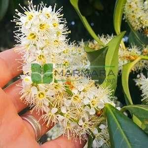 Bodur karayemiş ağacı , karayemiş baston formlu - Prunus laurocerasus otto luyken half tige (ROSACEAE)