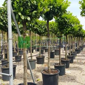Beyaz çiçekli yaprak dökmeyen karayemiş ağacı baston formlu - Prunus laurocerasus half tige (ROSACEAE)