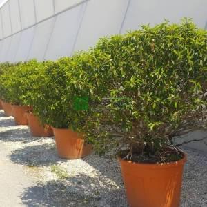 Portekiz karayemişi top formlu, Portekiz Defnesi, Portekiz Selvisi, Portekiz Kirazı - Prunus lusitanica palle (ROSACEAE)