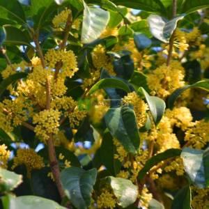 Sarı çiçekli osmantus - Osmanthus frangrans conger yellow (OLEACEAE)