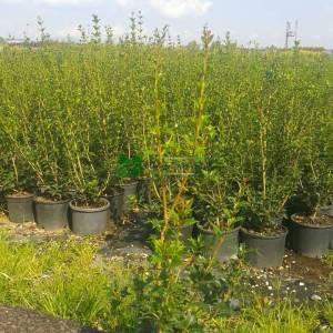 Osmanthus, Yalancı çobanpüskülü, Osmantus - Osmanthus heterophyllus (OLEACEAE)