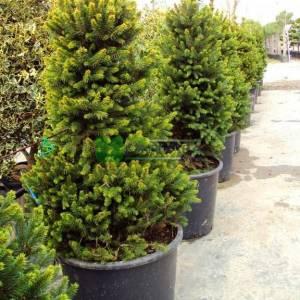 Batı Ladini, Avrupa ladini, Norveç ladini - Picea abies (PINACEAE)