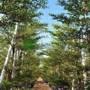 Tropikal badem ağacı - Terminalia mantaly (COMBRETACEAE)