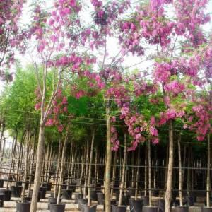 Tüylü yalancı akasya, Pembe çiçekli akasya - Robinia hispida (FABACEAE)
