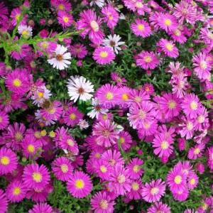 İngiliz papatyası, sonbahar papatyası, Eylül papatyası - Symphyotrichum novae-angliae (ASTERACEAE)