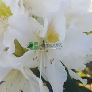 Aşılı Beyaz çiçekli ormangülü - Rhododendron hybride cunninghams white (ERICACEAE)
