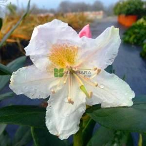 شجر الورد
