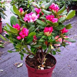 Aşılı Beyaz,pembe,mor,kırmızı, çiçekli ormangülü,Ormangülü, Dağgülü, Komar, Deli balı çiçeği - Rhododendron hybride (ERICACEAE)