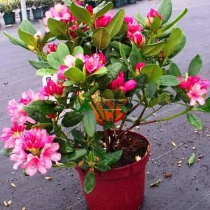Aşılı Beyaz, pembe, mor, kırmızı, çiçekli ormangülü, Ormangülü, Dağgülü, Komar, Deli balı çiçeği - Rhododendron hybride (ERICACEAE)