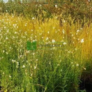 beyaz çiçekli gaura, gavura çiçeği, uçuşan kelebekler, - Gaura lindheimeri whirling butterflies (ONAGRACEAE)