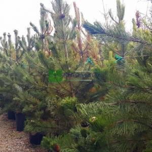 Monteri çamı - Pinus radiata (PINACEAE)