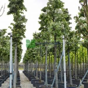 Amur ıhlamuru, Rus Ihlamuru, Gümüşi ıhlamur - Tilia amurensis (Tilia soorten) (TILIACEAE)