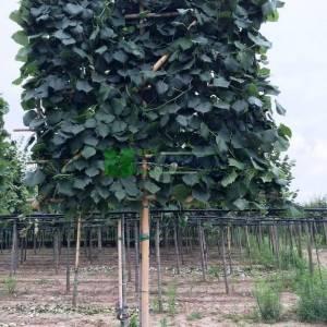 Gümüşi yapraklı perde/duvar formlu ıhlamur, Kokulu ıhlamur - Tilia tomentosa tige wall shaped form (Tilia argentea) (TILIACEAE)