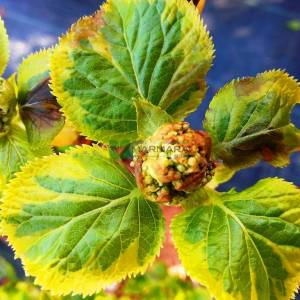 Sarı yeşil yapraklı sarılıcı ortanca - Hydrangea anomala petiolaris mirranda (HYDRANGEACEAE)