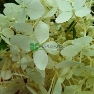 Panicle Hydrangea, Tree Hydrangea 'Phantom'