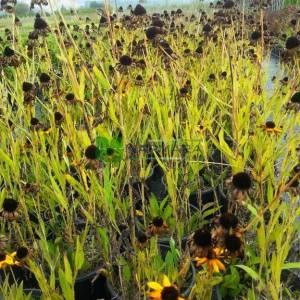 Güneş Şapkası, kara gözlü Susan, sarı papatya - Rudbeckia hirta (ASTERACEAE)