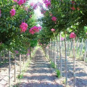 oya ağacı pembe çiçekli , ispanyol leylağı, hint leylağı, amerikan oya, çin oya - Lagerstroemia indica pink tige (LYTHRACEAE)