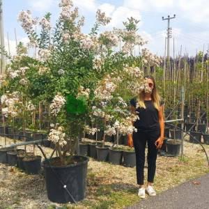 oya ağacı beyaz çiçekli alttan dallı, ispanyol leylağı, hint leylağı, amerikan oya, çin oya - Lagerstroemia indica white multi stem (LYTHRACEAE)