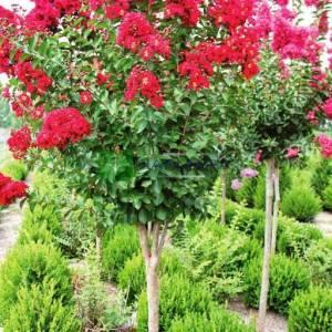 oya ağacı kırmızı çiçekli , ispanyol leylağı, hint leylağı, amerikan oya, çin oya - Lagerstroemia indica dynamite (LYTHRACEAE)