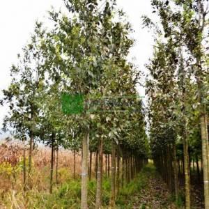 Çitlembik, Çitlenbik ağacı - Celtis australis (CANNABACEAE)