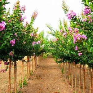 oya ağacı mor çiçekli , ispanyol leylağı, hint leylağı, amerikan oya, çin oya - Lagerstroemia indica