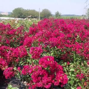 oya ağacı bodur kırmızı çiçekli , ispanyol leylağı, hint leylağı, amerikan oya, çin oya - Lagerstroemia indica nana 'petite red' (LYTHRACEAE)