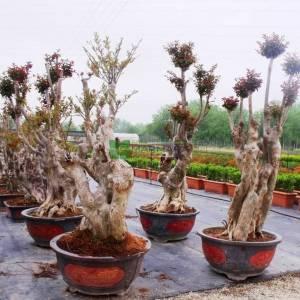 oya ağacı bonsai pembe çiçekli , ispanyol leylağı, hint leylağı, amerikan oya, çin oya - Lagerstroemia indica bonsai (LYTHRACEAE)