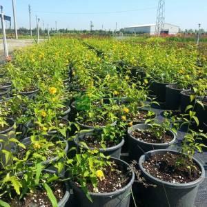 Kanarya Gülü, Japon Gülü, Paskalya Gülü, - Kerria japonica (ROSACEAE)