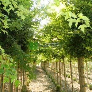 Üçdiş yapraklı akçaağaç - Acer buergerianum (Acer trifidum) (SAPINDACEAE)