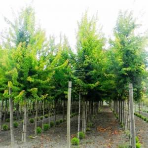 Üçdiş yapraklı akçaağaç - Acer buergerianum (Acer trifidum) (ACERACEA)