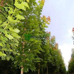 Caucasian Maple, Coliseum Maple, Cappadocian maple