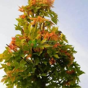 Kırmızı akçaağaç,çınar yapraklı kırmızı akçaağaç - Acer rubrum (ACERACEA)