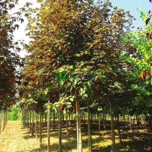 Aşılı kırmızı yapraklı dağ akçaağac - Acer pseudoplatanus atropurpureum (SAPINDACEAE)
