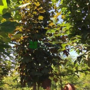 Aşılı kırmızı yapraklı dağ akçaağac, büyük yapraklı kırmızı dağ akçaağacı - Acer pseudoplatanus atropurpureum (SAPINDACEAE)