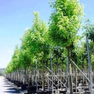 alaca yapraklı akçaağaç, Sarı yeşil yapraklı akçaağaç, - Acer negundo aureovariegatum (ACERACEA)