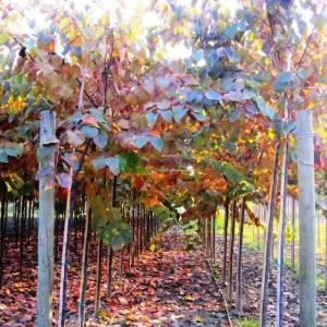 Erguvan ağacı,Erguvan, Gelin yemişi, Yemişen, Zazalak, Kalp yapraklı - Cercis canadensis forest pansy (LEGUMINOSAE)