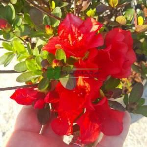 Açelya,Ormangülü, Orman gülü - Azalea japonica (Rhododendron) (ERICACEAE)