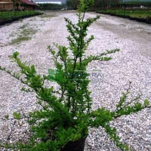 Berberis yeşil yapraklı,kadın tuzluğu, hanım tuzluğu - Berberis thunbergii green carpet (BERBERIDACEAE)