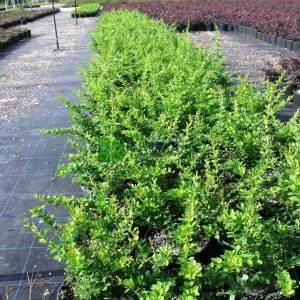 Berberis yeşil yapraklı, kadın tuzluğu, hanım tuzluğu - Berberis thunbergii green carpet (BERBERIDACEAE)
