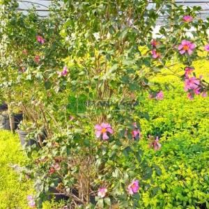 Sonbahar Kamelyası,Kış kamelyası, kışın çiçek açan kamelya, Japon kamelyası, Japon gülü - Camellia sasanqua cleopatra (THEACEAE)