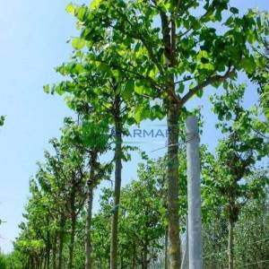 Erguvan ağacı,Erguvan, Gelin yemişi, Yemişen, Zazalak, Kalp yapraklı - Cercis siliquastrum tige (LEGUMINOSAE)