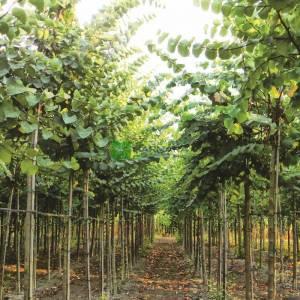 Erguvan ağacı, Erguvan, Gelin yemişi, Yemişen, Zazalak, Kalp yapraklı - Cercis siliquastrum (LEGUMINOSAE)
