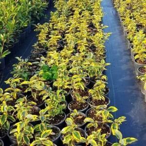 Altuni yapraklı süs iğdesi - Elaeagnus x ebbingei gilt edge (ELAEAGNACEAE)