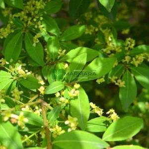 Kızaran avrupa taflanı tijli, Kırmızı yapraklı avrupa taflanı baston şekilli - Euonymus alatus compacta sur tige (CELASTRACEAE)