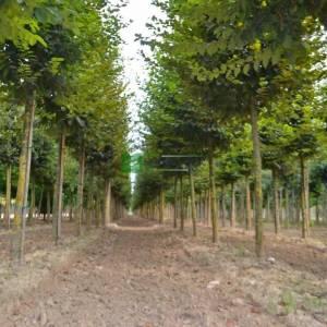 Kara gürgen Tijli Küpeli meşe gürgen - Carpinus betulus tige (BETULACEAE)