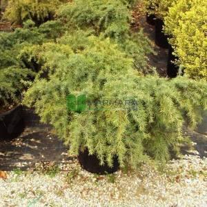 Deodar Cedar, Himalayan Cedar Feeling Blue