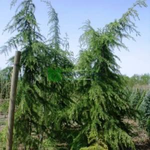 Lübnan sediri, Toros sediri, Katranağacı, Türk sediri, sarkık formlu - Cedrus libani pendula (PINACEAE)